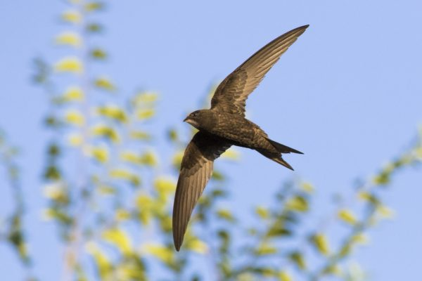 Springtime and the Swifts: A mindset inspiration, Shows a Swift in flight