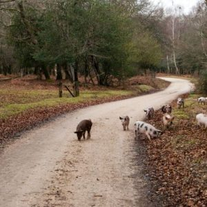 Pannage pigs in the forest