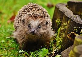 A hedgehog to show crisis of sustainability for wildlife